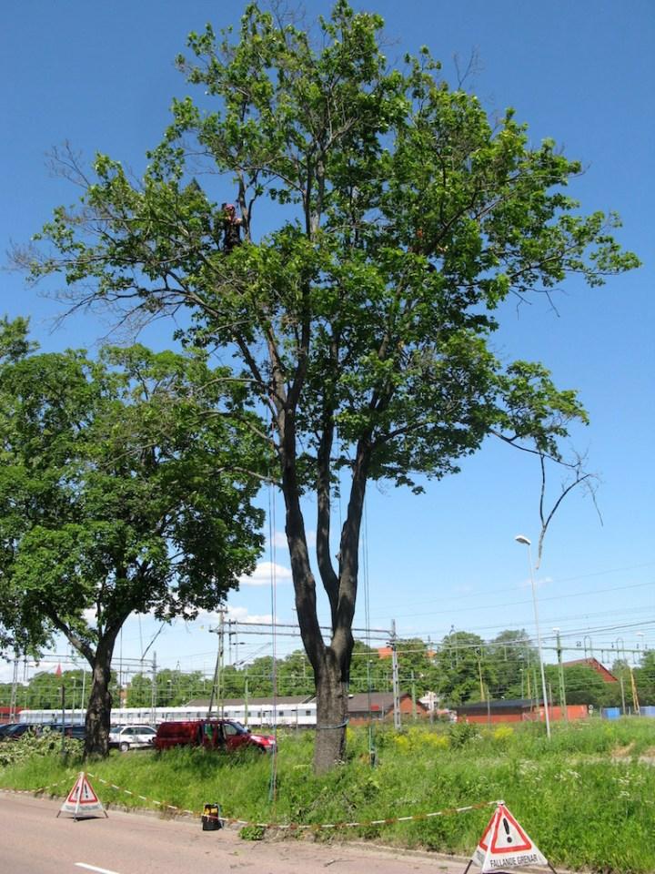 Totholzentfernung Hamburg Baumpflege Vorher