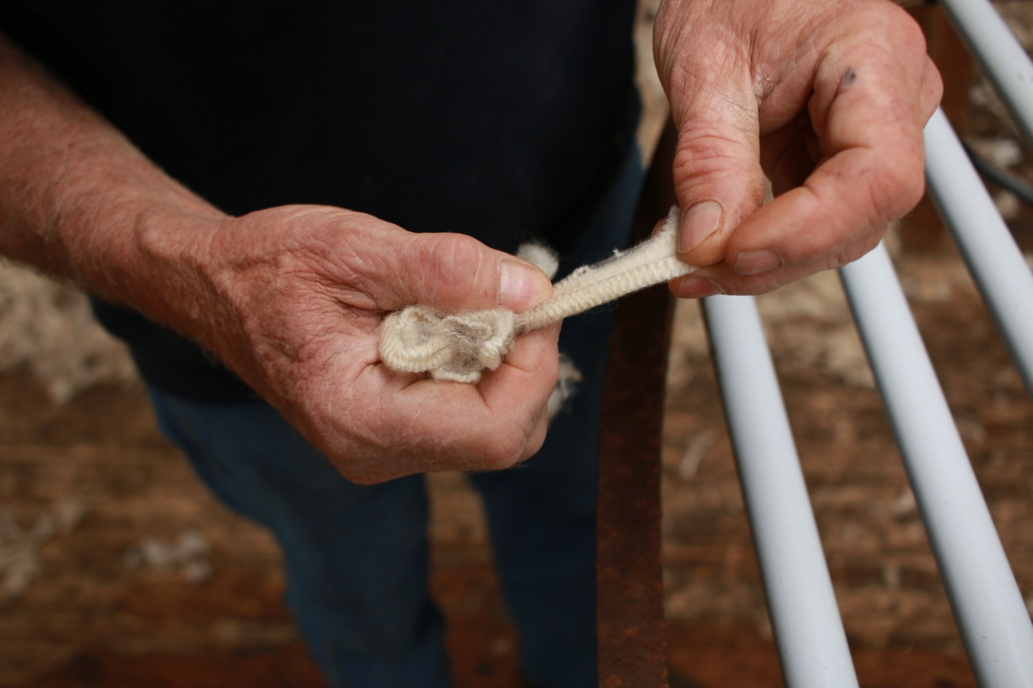 worn experienced hard hands of a long time sheep farmer examining freshly shorn wool in his shearing shed