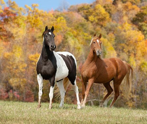paint horse Animal Stock Photos Kimballstock