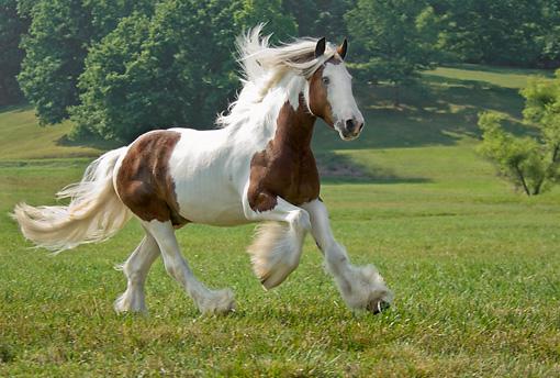 Black Arabian Mare Foal