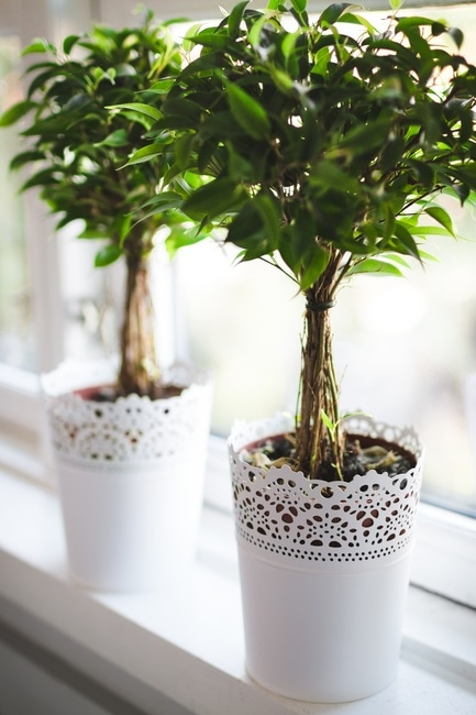 houseplant-window-plant-weeping-fig