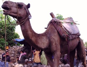 Camel Market- Tales of Yemen - Lions, Goats and Camels, Oh My! - kimberlymitchell.us