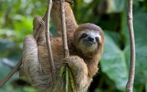 Three-toed sloth photo courtesy WWF