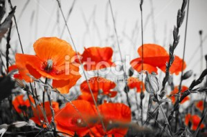 Red Poppies from iStock