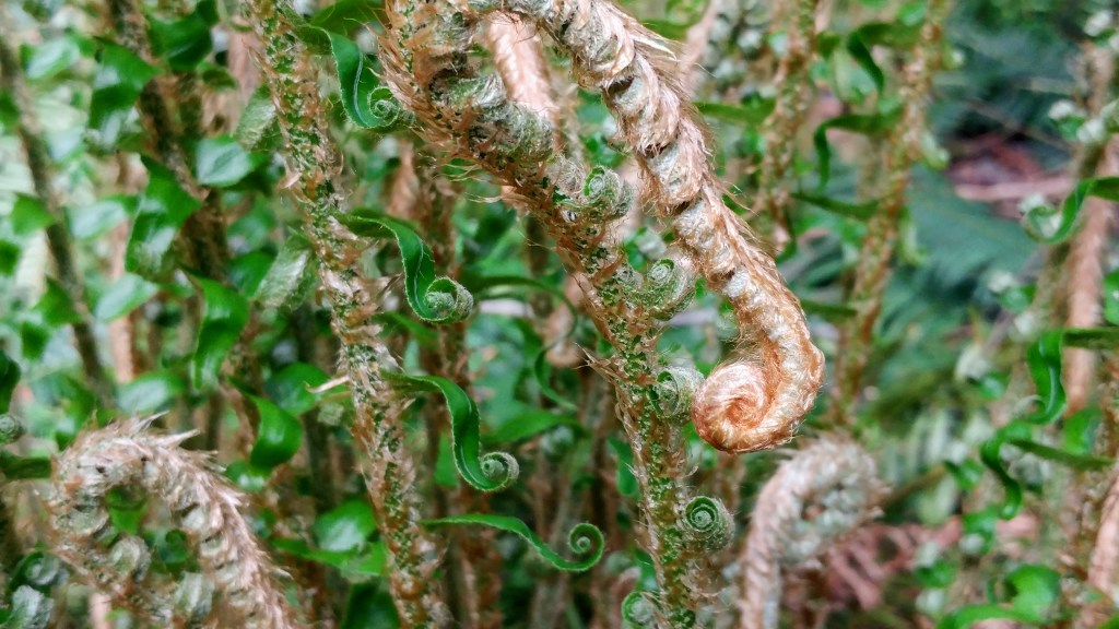 Spirals in ferns in Vancouver, BC – http://kimwerker.com/blog