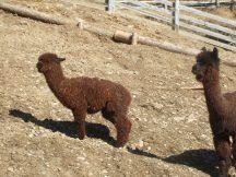 Alpakas auf dem Mini-Bauernhof
