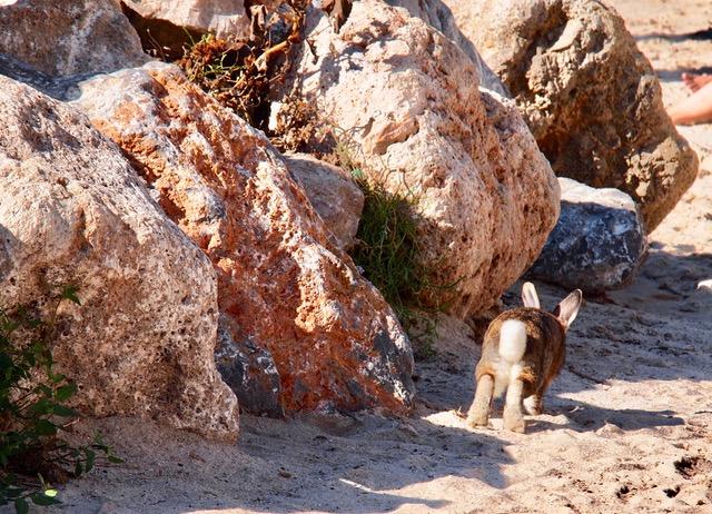 Strandhase - Mallorca, Cala millor, Hotel Marins Playa - Auf Reisen