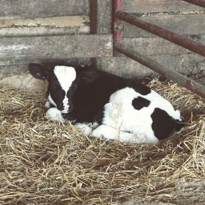 Calf_in_barn