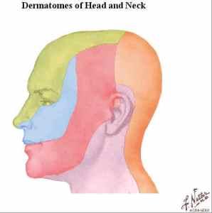 innervazione cranio