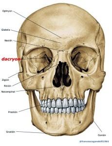 dacryon: punto d'incontro della sutura fra frontale da una parte e apofisi ascendente del mascellare e lacrimale dall'altra e la sutura fra mascellare e lacrimale