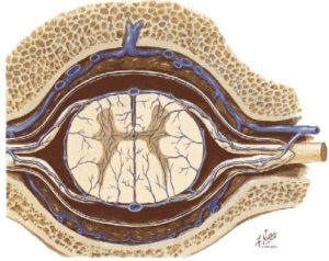 emersione nervi Netters