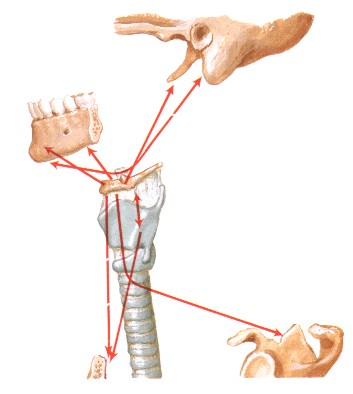 Essendo, quindi, il capo appoggiato sulla colonna vertebrale, la posizione della testa in relazione al collo e del collo in rapporto al tronco sarà determinata dalla muscolatura che collega le varie parti scheletriche; l'alterazione dei rapporti stomatognatici (della bocca) comporterà rotazioni e contro-rotazioni del collo e delle spalle. Poiché il cardine di questa relazione è la prima vertebra cerebrale, che per i suoi rapporti anatomici con il sistema nervoso ed il sistema vascolare assume un ruolo fondamentale nell'equilibrio corporeo, un disordine relazionale locale può avere ripercussioni generalizzate.
