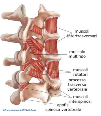 I muscoli interspinalifanno parte dei muscoli delle docce vertebrali del piano profondo e sono tesi tra i processi spinosi di vertebre contigue, hanno le proprie entesi a lato dei legamenti interspinosi,
