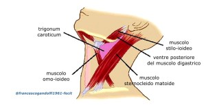 triangolocarotideo, delimitato dal muscolo stilo-ioideo (antero-superiormente), dal ventre superiore del muscolo omo-ioideo (antero-inferiormente), dal muscolo sternocleidomastoideo (posteriormente) e dal ventre posteriore del muscolo digastrico (superiormente)