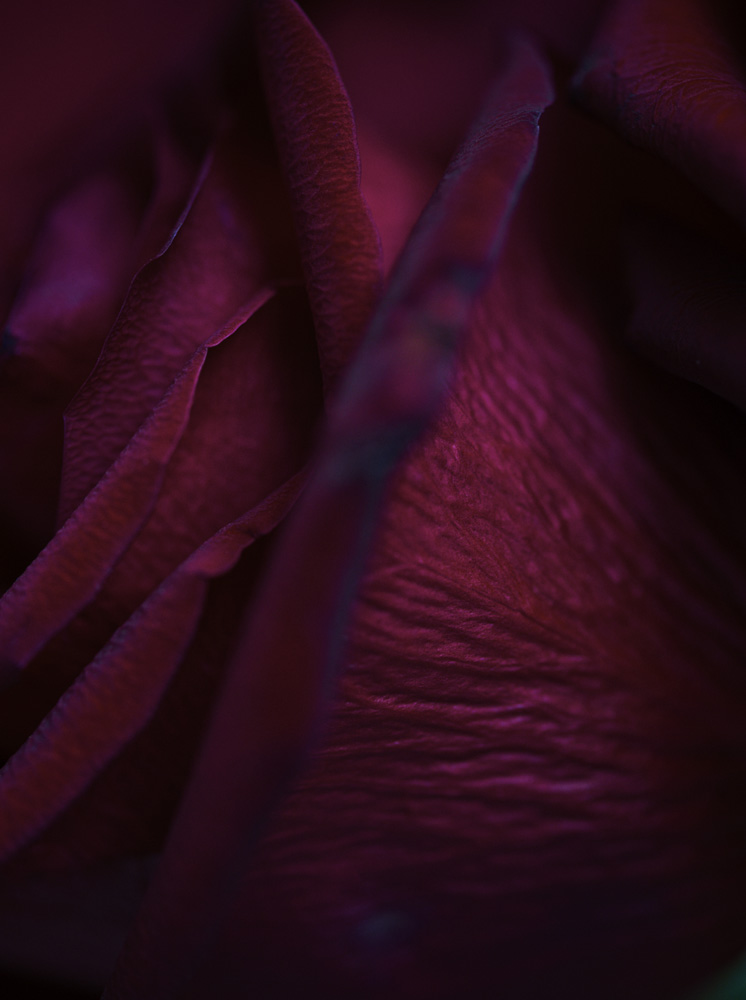 Red_Rose_001_1