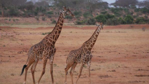 Safari 1gg Tsavo Est Safari 1 Day Tsavo East Safari 1 Tage Tsavo Ost
