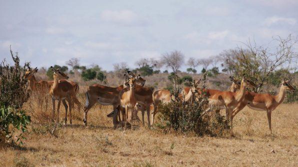 Safari ed Escursioni In Kenya 2020 safaris kenya watamu Excursions Safari 3 Tage Amboseli und Tsavo Ost Safari 3gg Amboseli e Tsavo Est Amboseli And Tsavo East