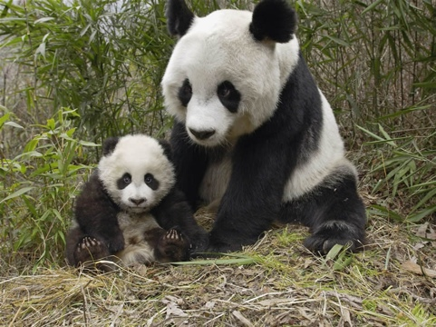 panda&cub