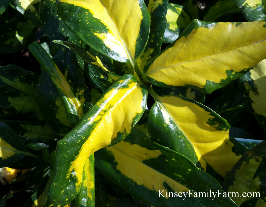 Evergreen Shrubs Georgia Southern Gardens Kinsey Family