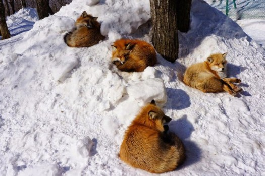 village of the foxes in japan