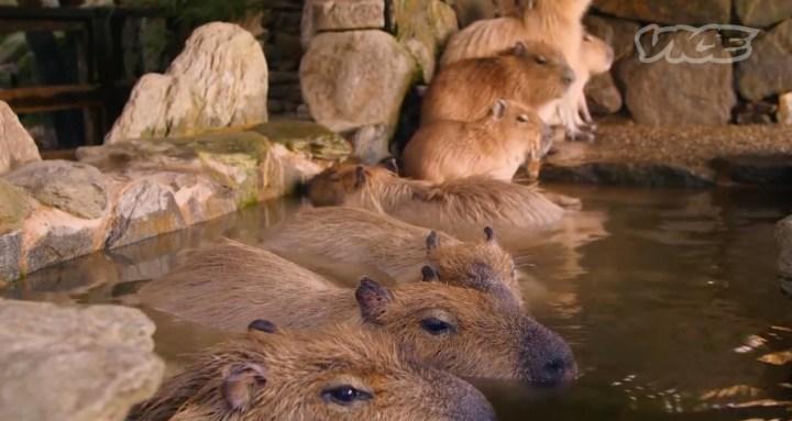 kapibara3