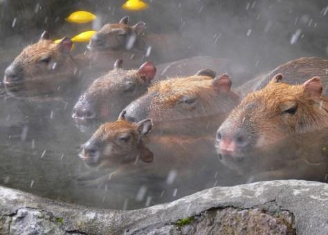 kapibara7