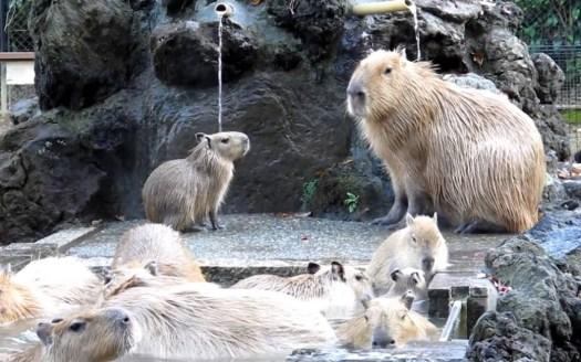 kapibara8