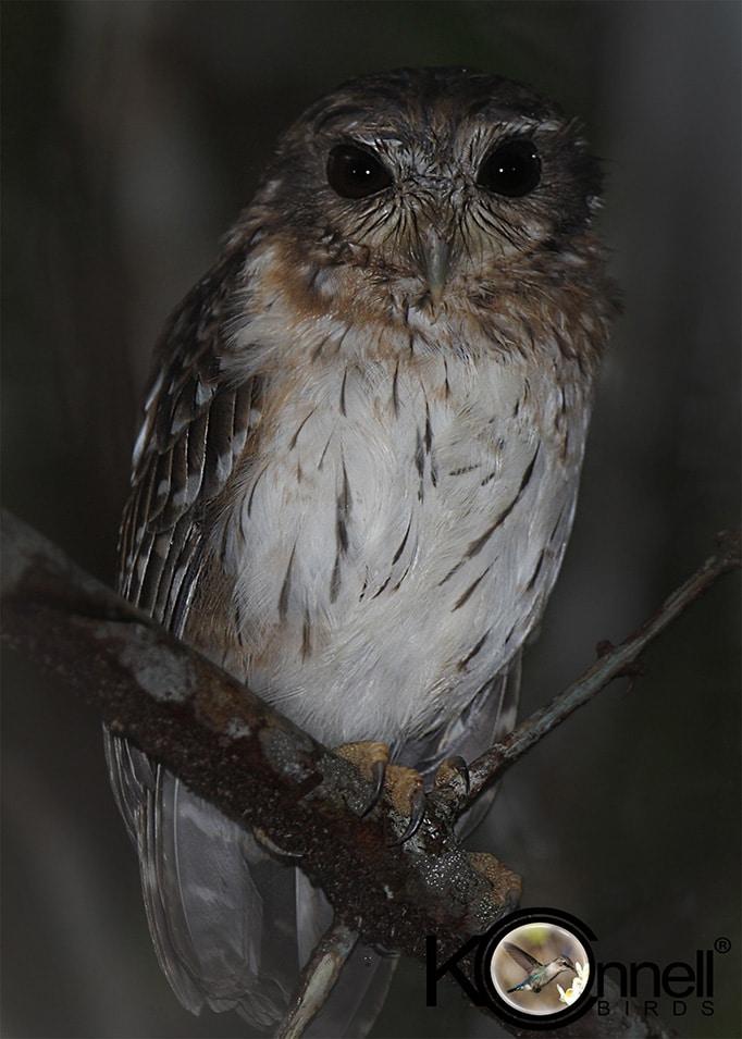 Bare-legged Owl - Birding in Cuba