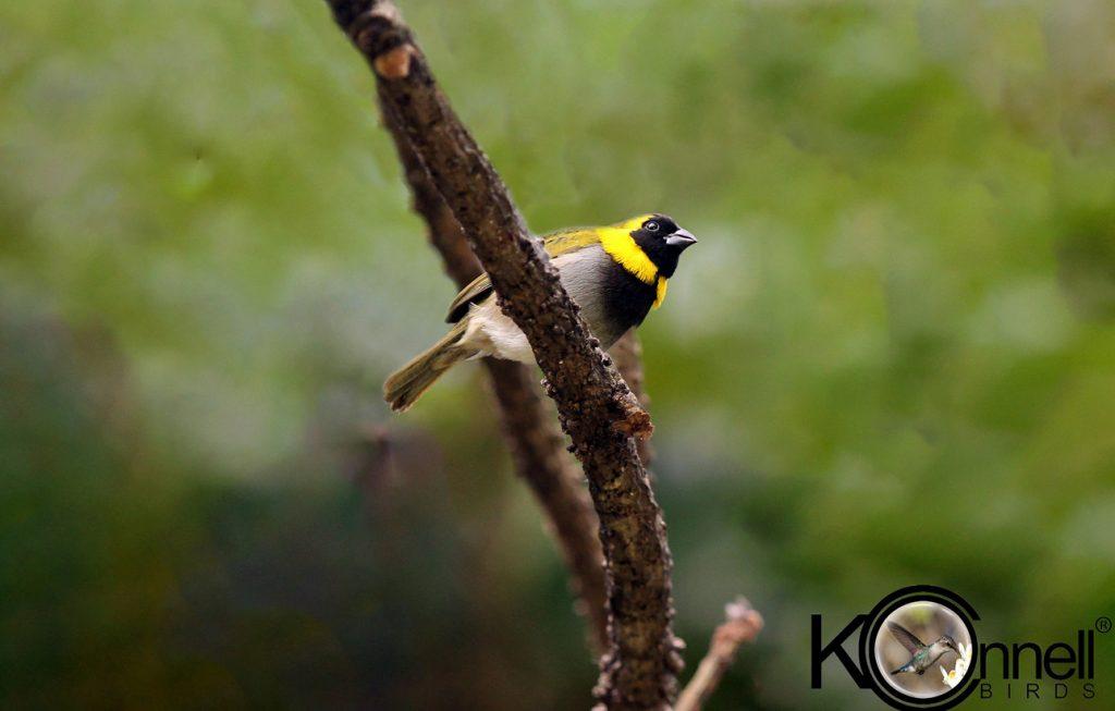 Cuban-Grassquit - Birding in Cuba