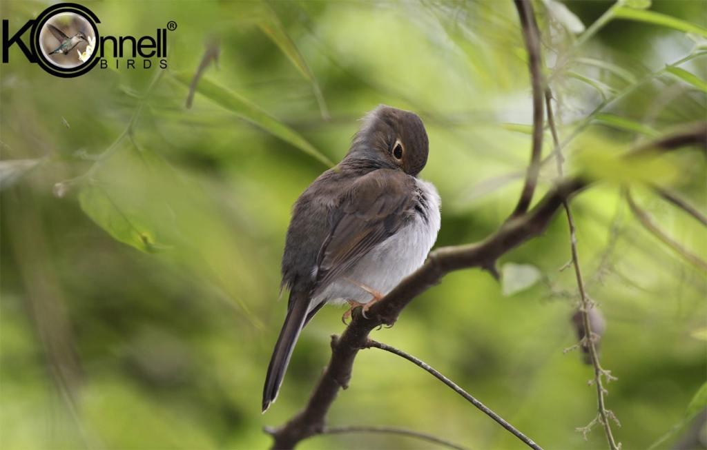 Cuban-Solitaire - Birding in Cuba
