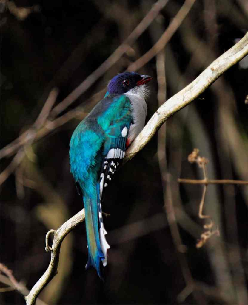 Cuban-Trogon - Birding in Cuba