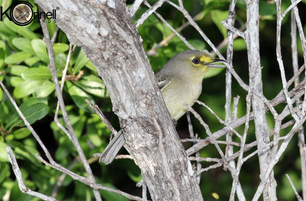 Thick-billed Vireo - Birding in Cuba
