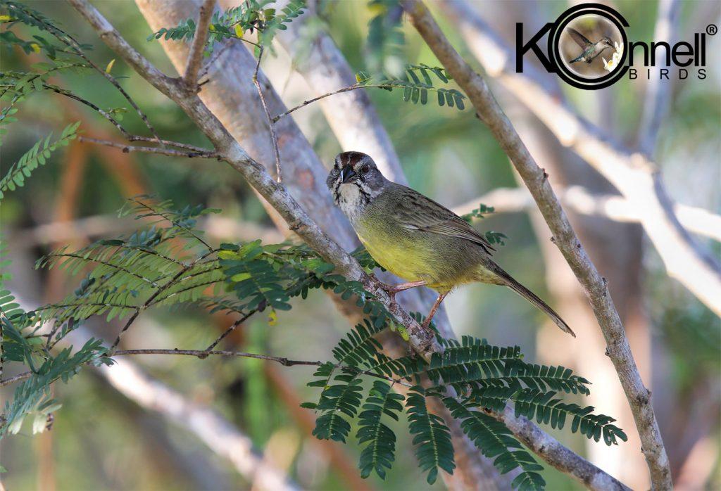 Zapata Sparrow - Birding in Cuba