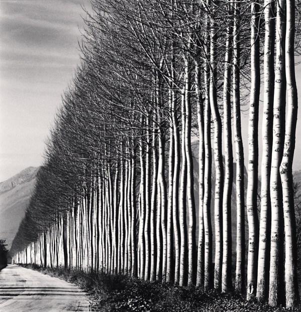 Poplar trees fucino abruzzo italy 2016 copy