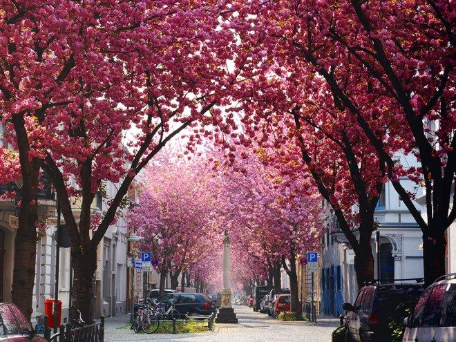 cherry blossoms in bonn germany kirschbluete bonn. Black Bedroom Furniture Sets. Home Design Ideas
