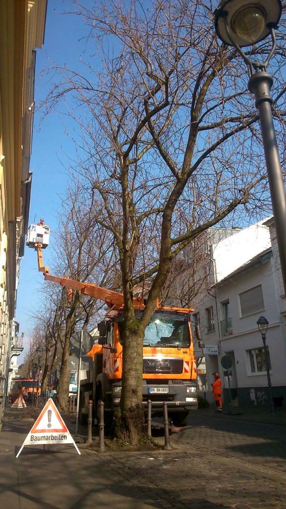 Baumarbeiten-Heerstrasse-Bonn-Kirschblueten-Kirschbaeume