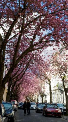 Kirschblütenliveticker-Freitag-15.04.16
