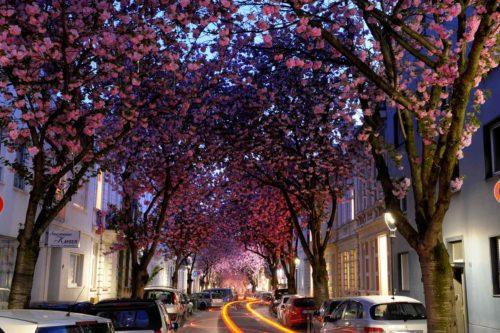 Kirschblüte-bonn
