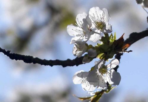 141-2015-Wett-B.Gorhotl-Kirschblüte weiss 3-2v3