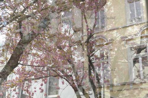 Kirschbluete-Bonn-printandpaint-7581