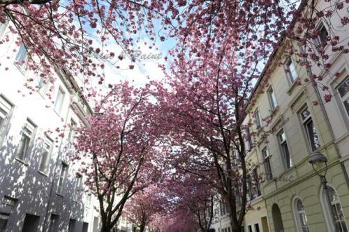 Kirschbluete-Bonn-printandpaint-7599