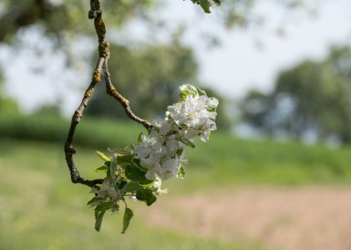Kirschblüten Radklassik