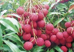 পুষ্টিগুণে ভরপুর বাংলাদেশের মৌসুমি ফল । আবদাল মাহবুব কোরেশী