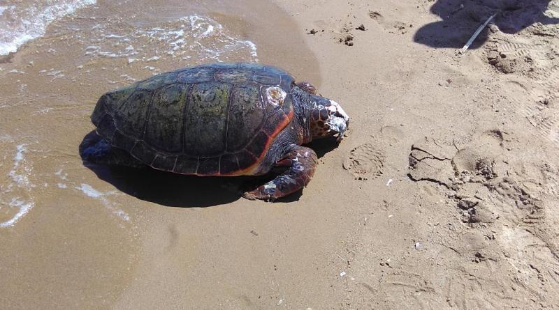 Dead sea turtle in Kissamos