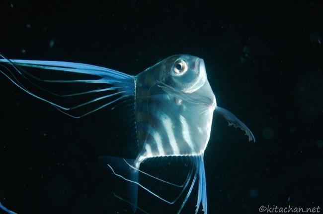 イトヒキアジの幼魚