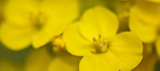 [Photolog] 2011年3月 旧中川の菜の花