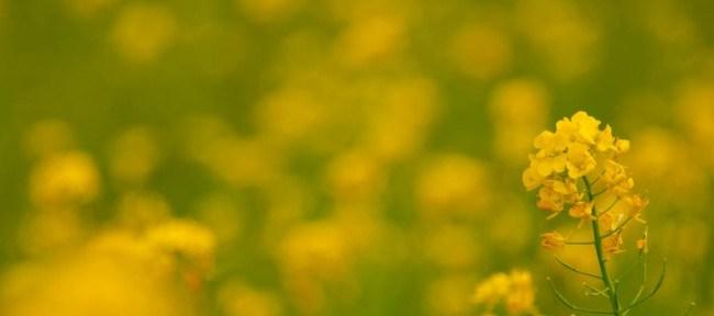 [Photolog] 2015年4月 ひまわりの丘公園の菜の花