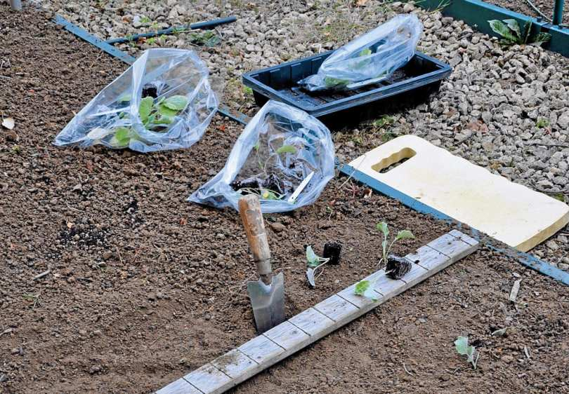 A trowl stuck in the soil with sprouted plants in bags next to it, ready to be sown into the soil.