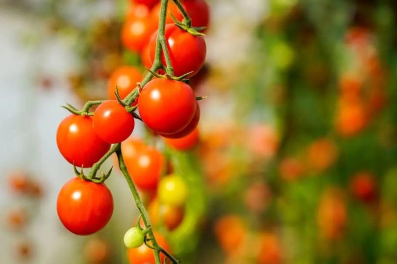 A ripe tomato plant.