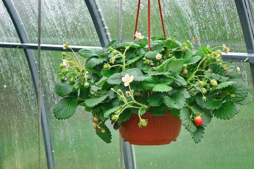 A strawberry plant in a hanging plant pot.